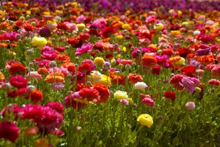 Carlsbad Flower Fields-0107