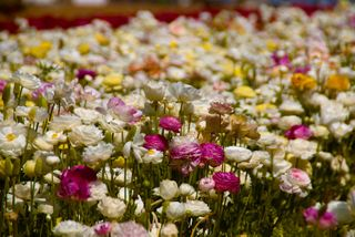 Carlsbad Flower Fields-0118