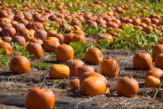 Pumpkin Patch 1-23