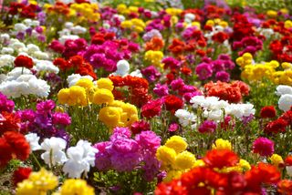 Carlsbad Flower Fields-0065
